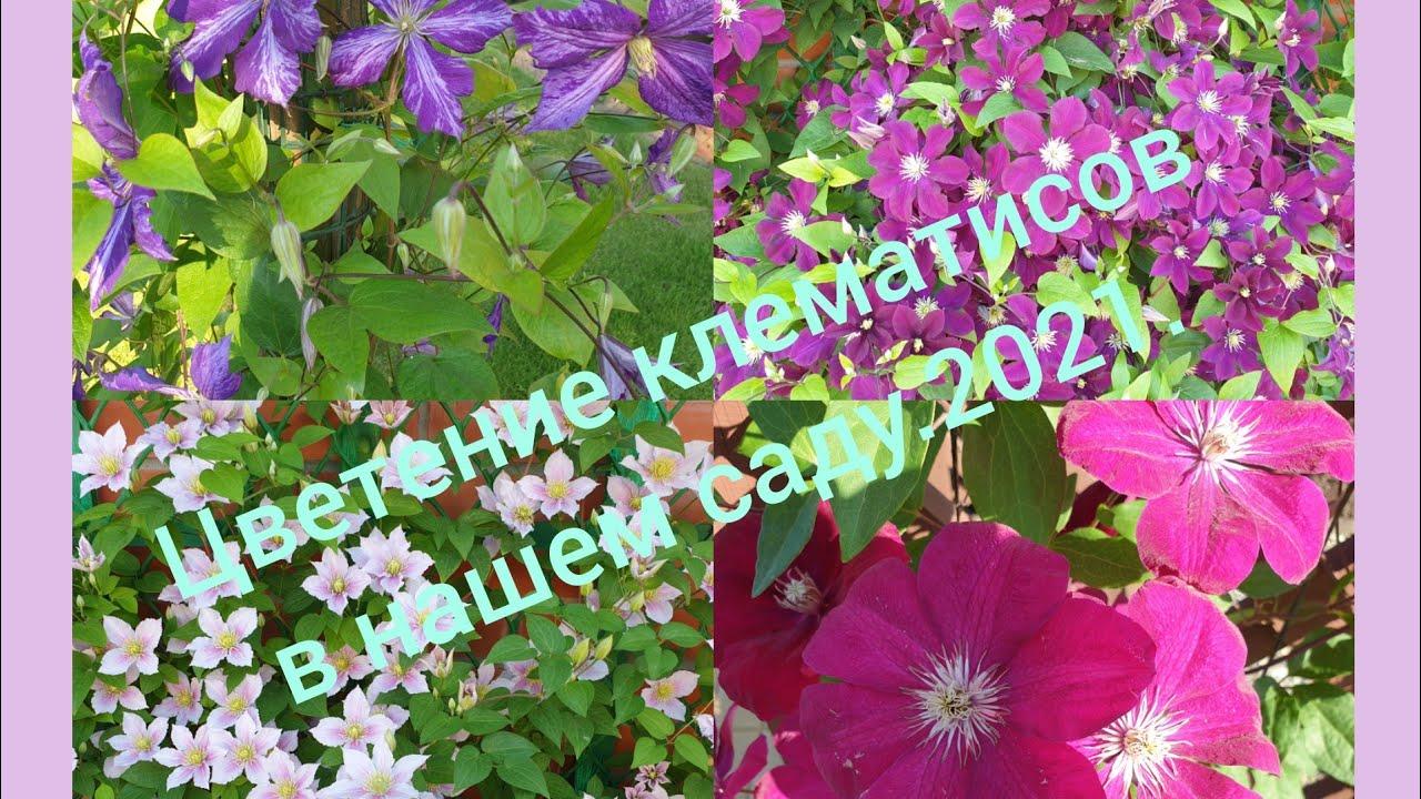🌸🦋🌺Цветение клематисов в нашем саду.2021.