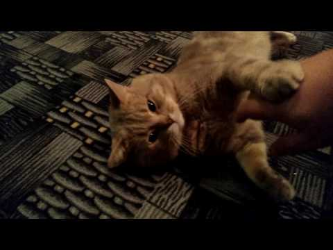 Почему кошка любит лежать на спине?