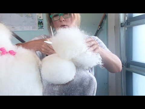 Grooming the Perfect Poodle Tail