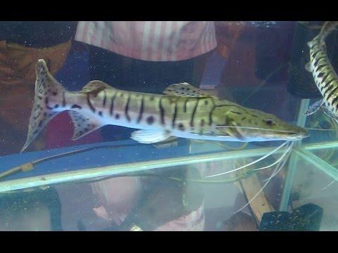 Tiger Shovelnose Catfish In Aquarium Tank