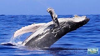 Whale Watching Highlights from Kauai - B...