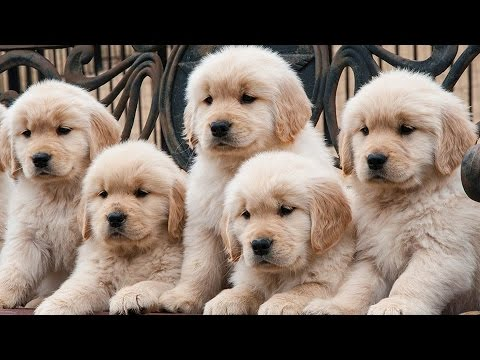 Cutest Golden Retriever Puppies  Of All Time Videos Compilation