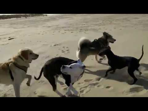 Chester the Manchester Terrier meets new friends
