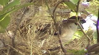 Gorrión Picoplata pareja construyendo su nido (Indian Silverbill, Euodice malabarica)