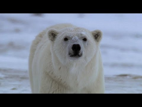 Hungry Large Male Polar Bear Attempts To  Prey On Camera Crew | BBC Earth