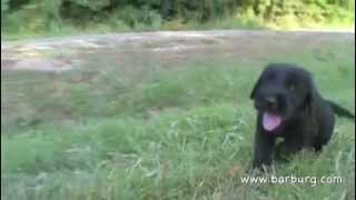 6 Weeks Old Natural Giant Schnauzer Puppies