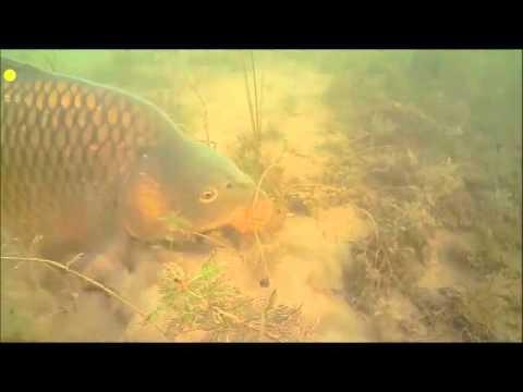 The invasive carp in the Murray Darling- Stephanie Deering 17992493