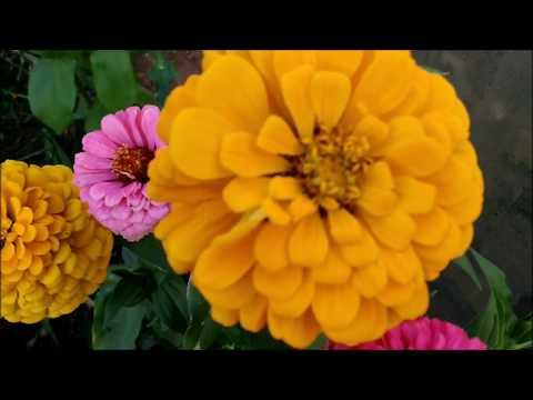 Как собрать семена цинии