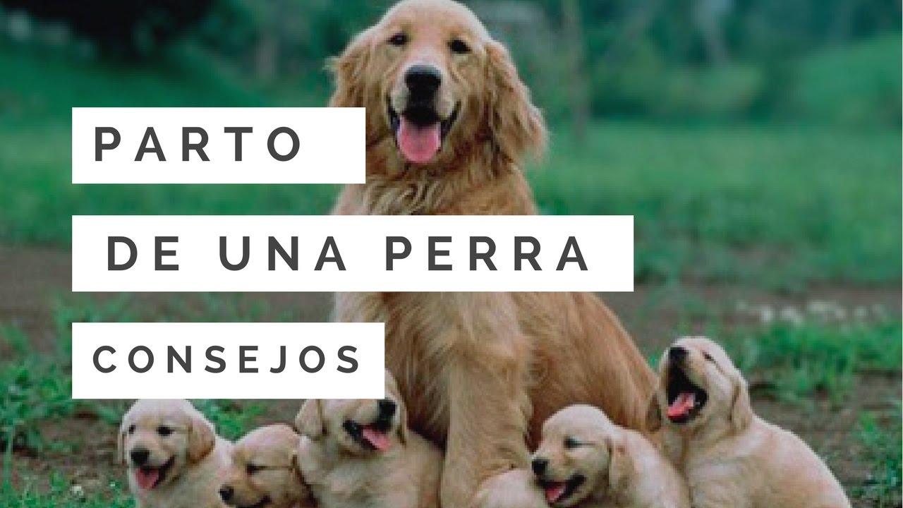 sintomas de una perra antes de dar a luz