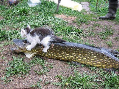 Как кошки ловят рыбу видео