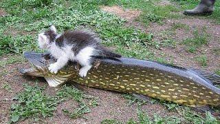 как кошки рыбу ловят на пруду