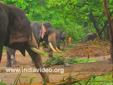 Elephants at Punnathoorkotta Anathavalam