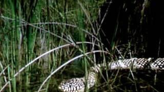 Built For The Kill - Swamp - King Snake