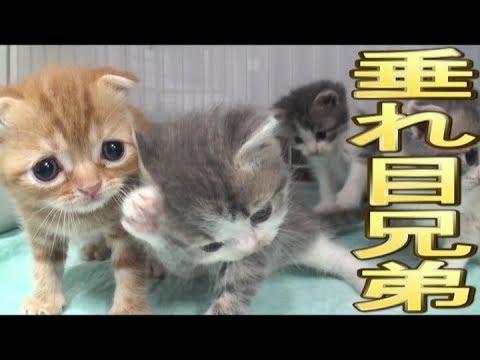【猫好き】垂れ目兄弟!(スコティッシュフォールド)《funny cats》