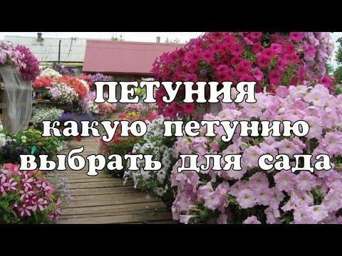 Какую петунию посадить в саду//Ампельные и кустовые петунии//Как правильно выбрать петунию для сада