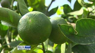 Сочинские мандарины могут перещеголять абхазские