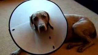 Weimaraner With Lampshade