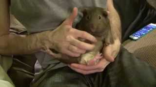 Record Breaking Guinea Pig Jump 66cm