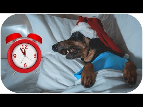 5 mins before Christmas! Cute & funny dachshund dog video!