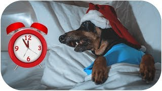 5-mins-before-christmas-cute-funny-dachshund-dog-video