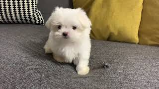 My 2 months old female maltese