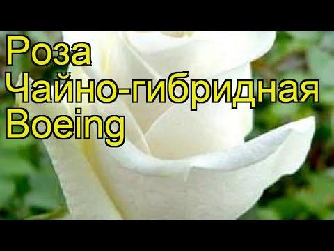 Роза чайно-гибридная Боинг. Краткий обзор, описание характеристик, где купить саженцы Boeing