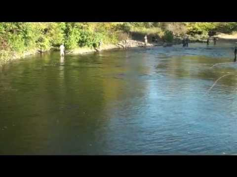 Salmon river fishing report altmar new york youtube for Salmon river ny fishing