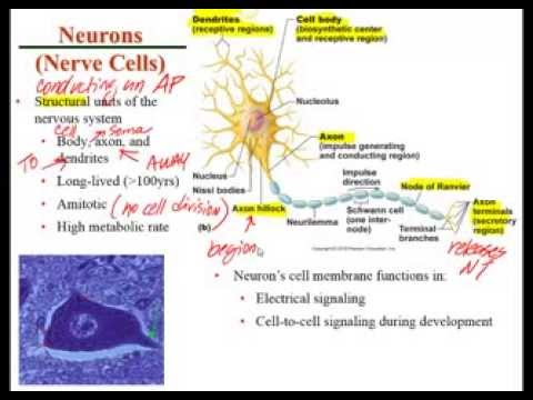 Chapter 11 Lecture A Histology of Nervous Tissue - YouTube