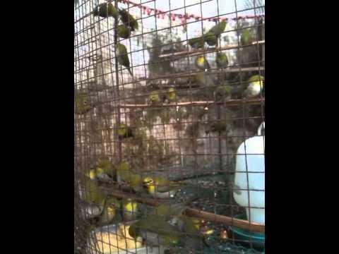 khuyên líu - bán chim vành khuyên mộc, trống 100%, ko tật lỗi, đã thuần cám, giá 20k/em