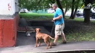 Как отучить собаку гонять кошек, дрессировка с электроошейником