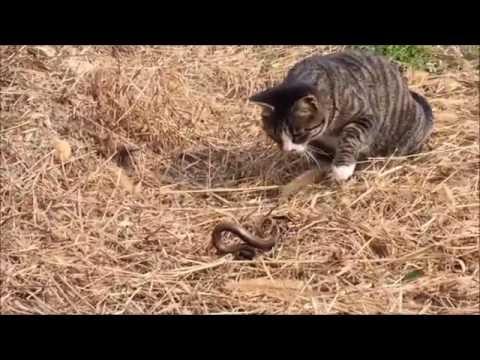 고양이 뱀사냥