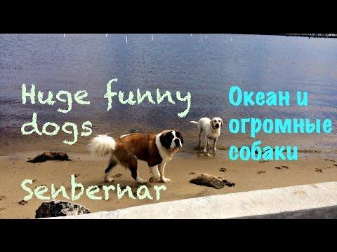Океан и огромные собаки Сенбернар. Funny huge Senbernar dogs