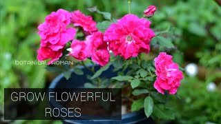 Rose plant care| best Fertilizers and potting mix for healthy rose blossom| മലയാളം