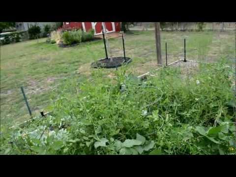 Texas Organic Spring Vegetable Garden Update #5 of 8 - Harvest Time
