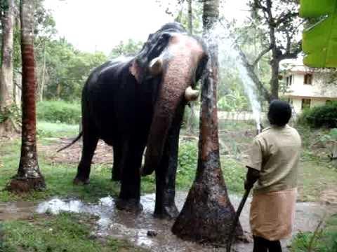 Kerala Elephant (Pallathankulangara Gireesan)1 - YouTube