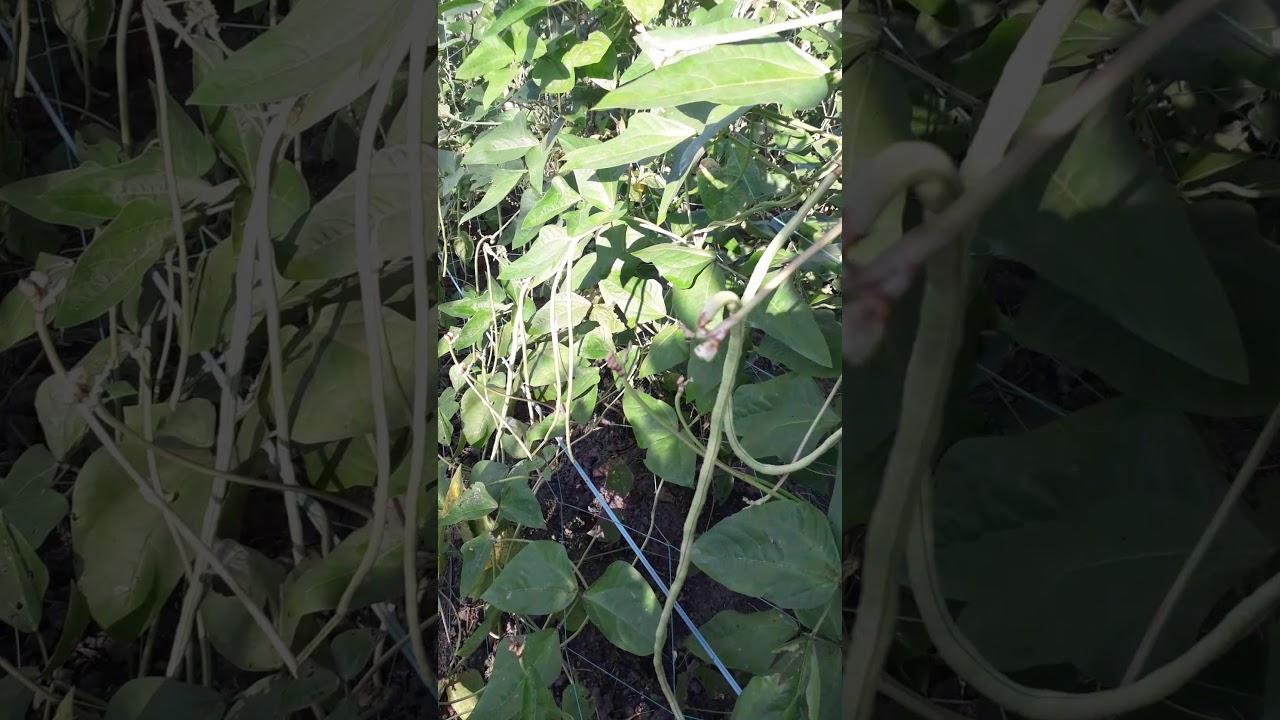 Về quê trồng bắp hái đậu