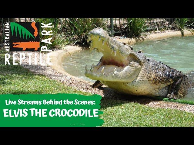 LIVE WITH ELVIS THE CROCODILE   AUSTRALIAN REPTILE PARK