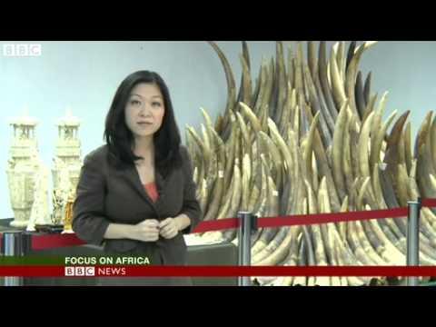 BBC News   Hong Kong begins burning its Ivory stockpile