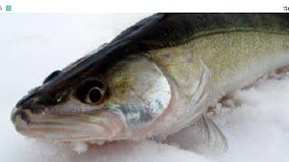 Как поймать судака зимой и в начале весны Рыбалка на судака со льда