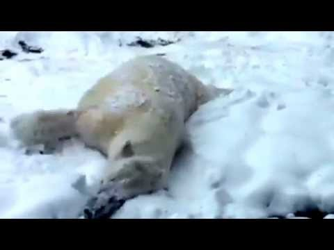 Polar Bear Plays In Snow At Wisconsin Zoo