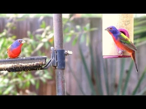 Painted Buntings - Most Colorful Songbird in North America!