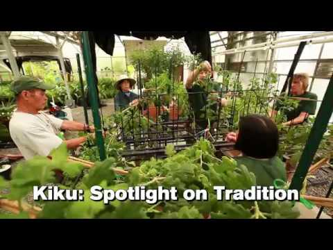 Kiku: Spotlight on Tradition - YouTube