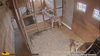 Giraffe Cam - Animal Adventure Park