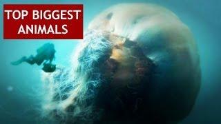 World's Biggest Animals, Top 5