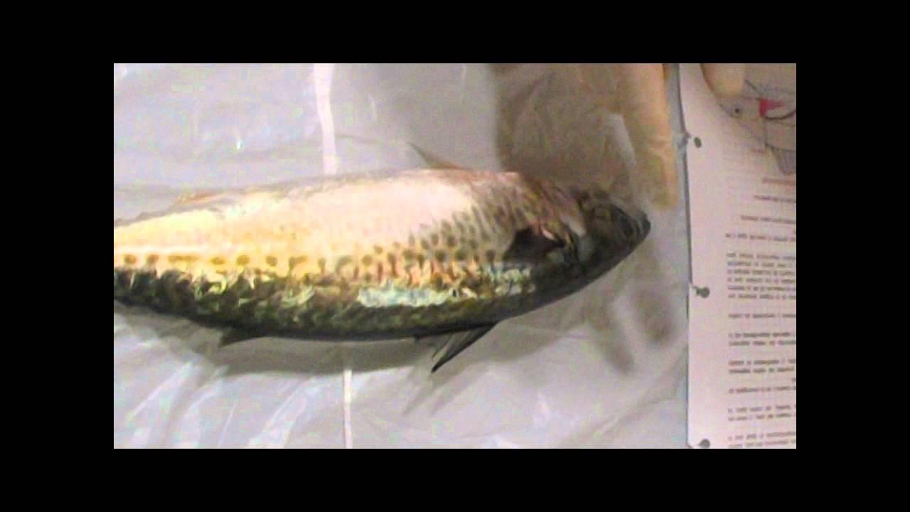 Partes del pez: Internas y externas. - YouTube