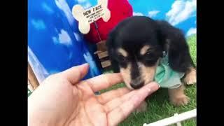 ペットショップ 犬の家 尼崎店 「87638:カニンヘン・ダックスフンド」