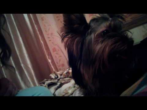 Видео о йорках -