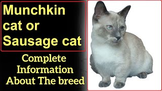 Munchkin cat or Sausage cat. Pros and Cons, Price, How to choose, Facts, Care, History
