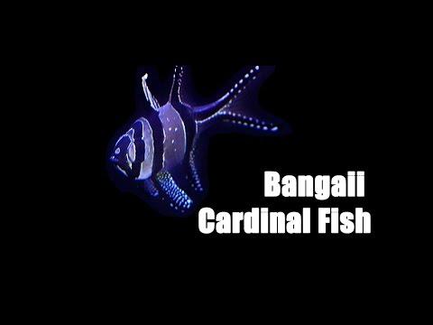 Bangaii Cardinals (ft. Miss Saltwater Tank)