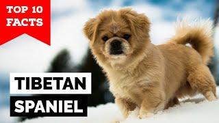 Tibetan Spaniel  Top 10 Facts
